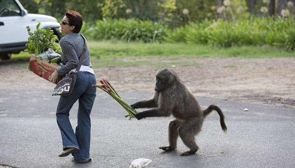 Наглые обезьяны воришки на улицах Кейптауна (10)