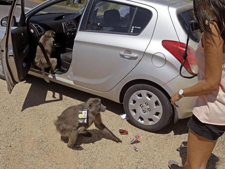 Наглые обезьяны воришки на улицах Кейптауна (3)
