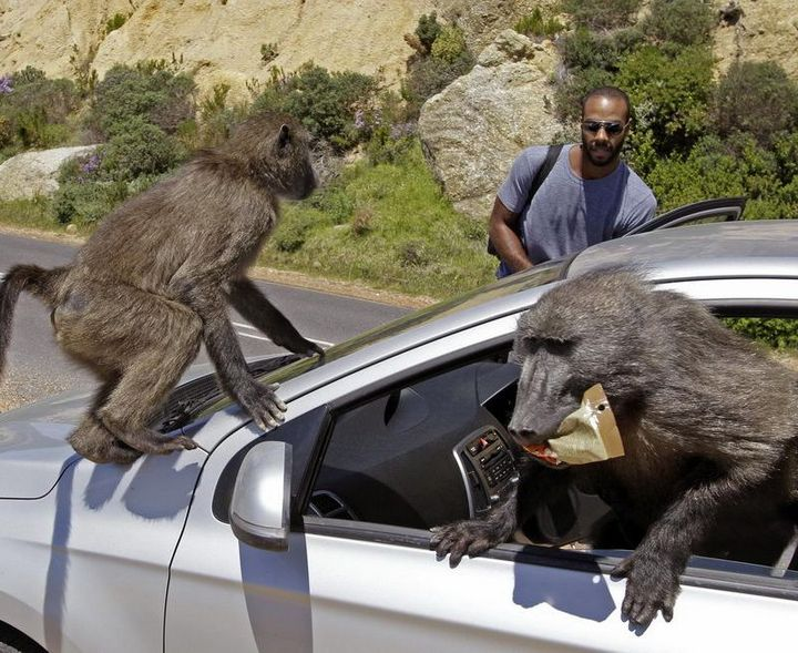 Наглые обезьяны воришки на улицах Кейптауна (1)