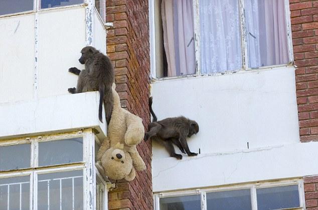 Наглые обезьяны воришки на улицах Кейптауна (5)