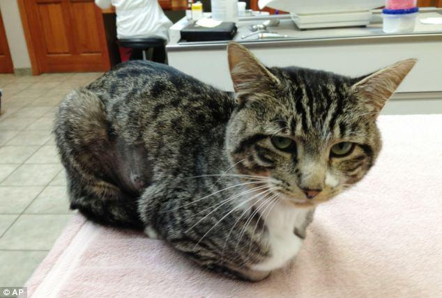Хулиганы прострелили кота из арбалета (2)