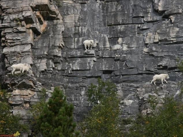 Горные козлы экстремалы (12)
