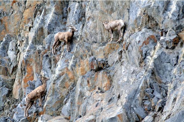 Горные козлы экстремалы (1)