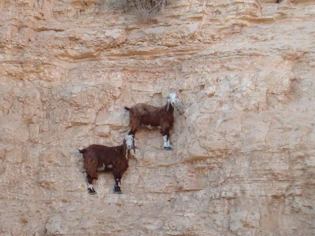 Горные козлы экстремалы (9)
