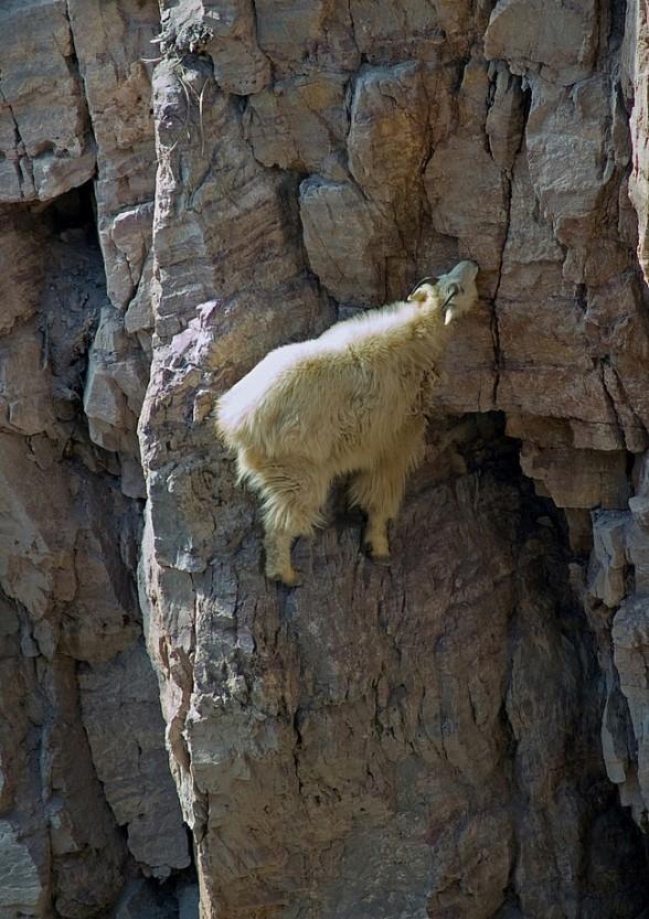 Горные козлы экстремалы (6)