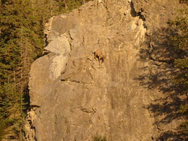 Горные козлы экстремалы (5)