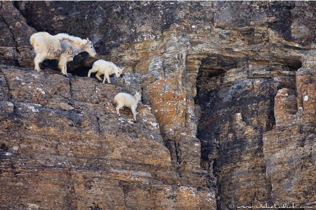 Горные козлы экстремалы (3)