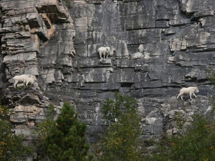 Горные козлы экстремалы (16)