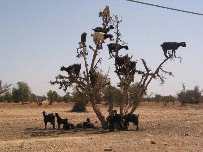 Горные козлы экстремалы (14)
