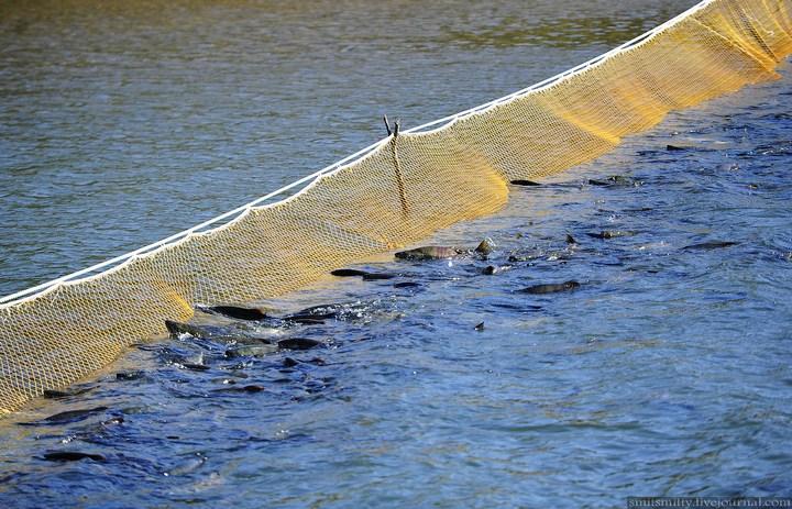 Как разводят лосося, кету, добыча икры лососёвых (3)