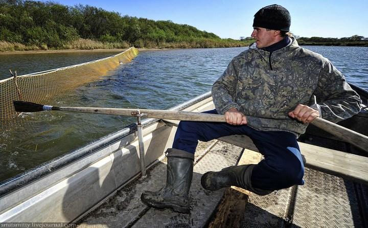 Как разводят лосося, кету, добыча икры лососёвых (4)