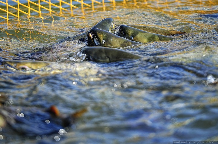 Как разводят лосося, кету, добыча икры лососёвых (6)