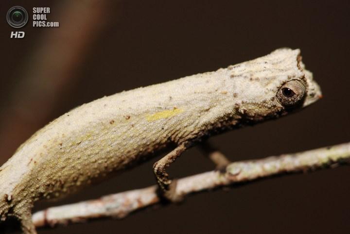 Самый маленький хамелеон на планете, малая Брукезия (3)