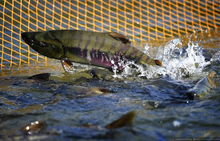 Как разводят лосося, кету, добыча икры лососёвых (7)