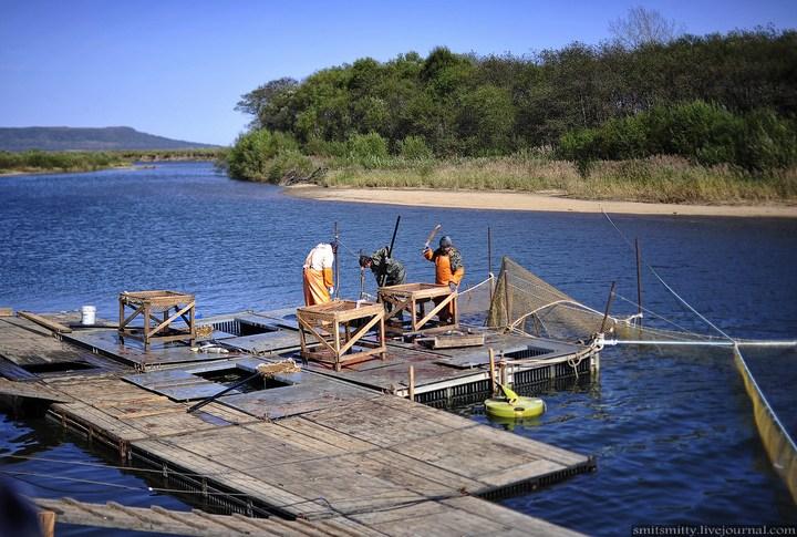 Как разводят лосося, кету, добыча икры лососёвых (8)