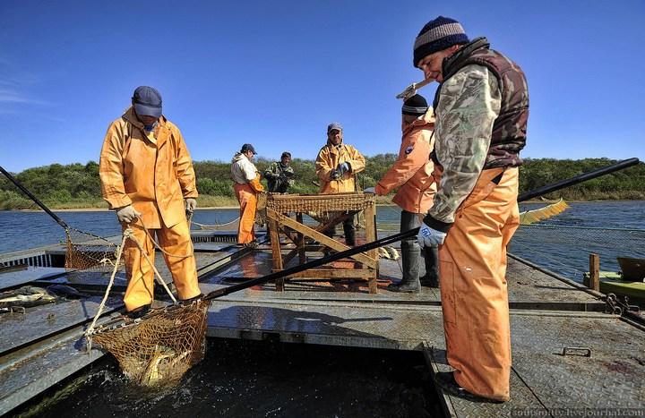 Как разводят лосося, кету, добыча икры лососёвых (11)