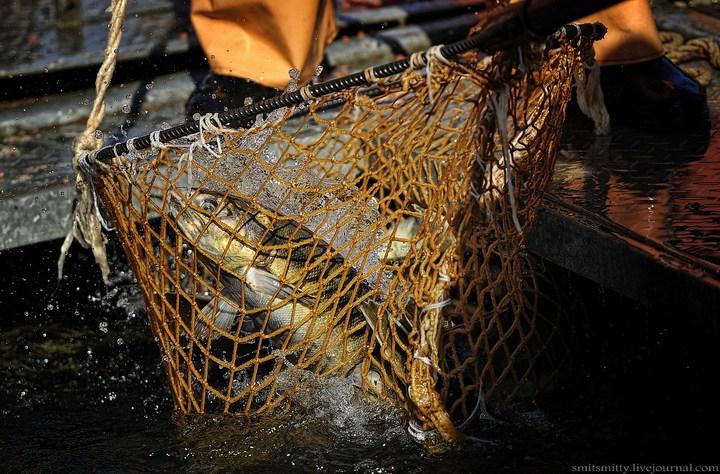 Как разводят лосося, кету, добыча икры лососёвых (12)