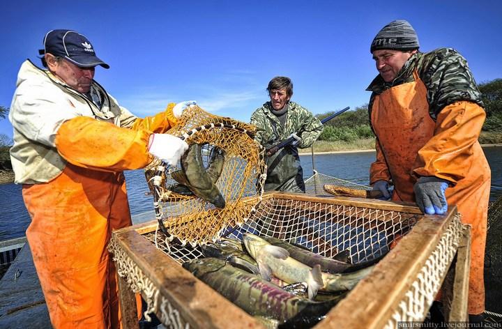 Как разводят лосося, кету, добыча икры лососёвых (14)