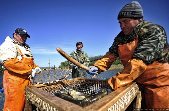 Как разводят лосося, кету, добыча икры лососёвых (16)