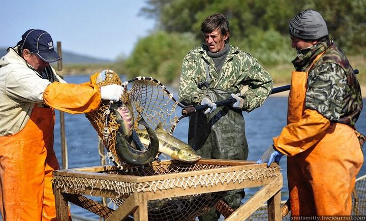 Как разводят лосося, кету, добыча икры лососёвых (17)