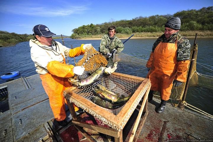 Как разводят лосося, кету, добыча икры лососёвых (19)