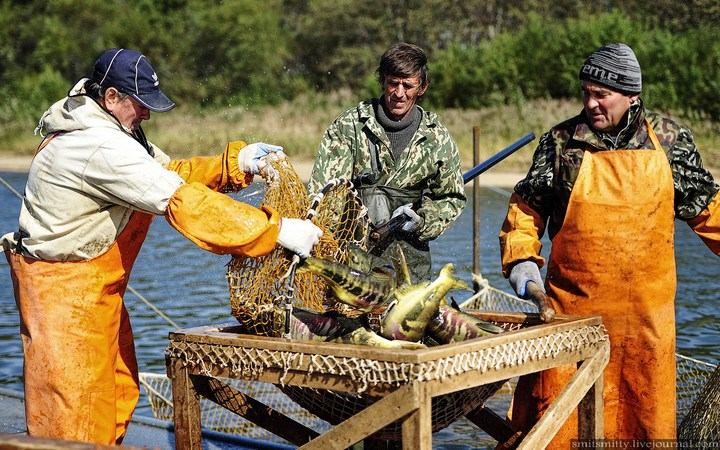 Как разводят лосося, кету, добыча икры лососёвых (20)