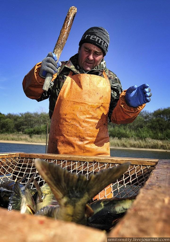 Как разводят лосося, кету, добыча икры лососёвых (21)