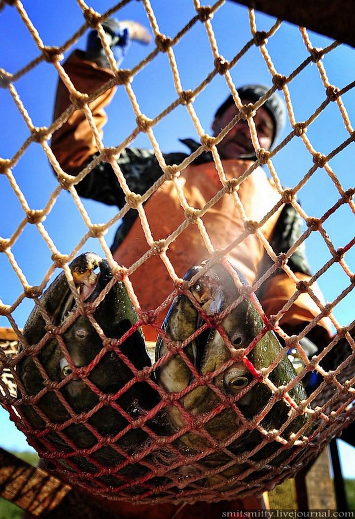 Как разводят лосося, кету, добыча икры лососёвых (22)