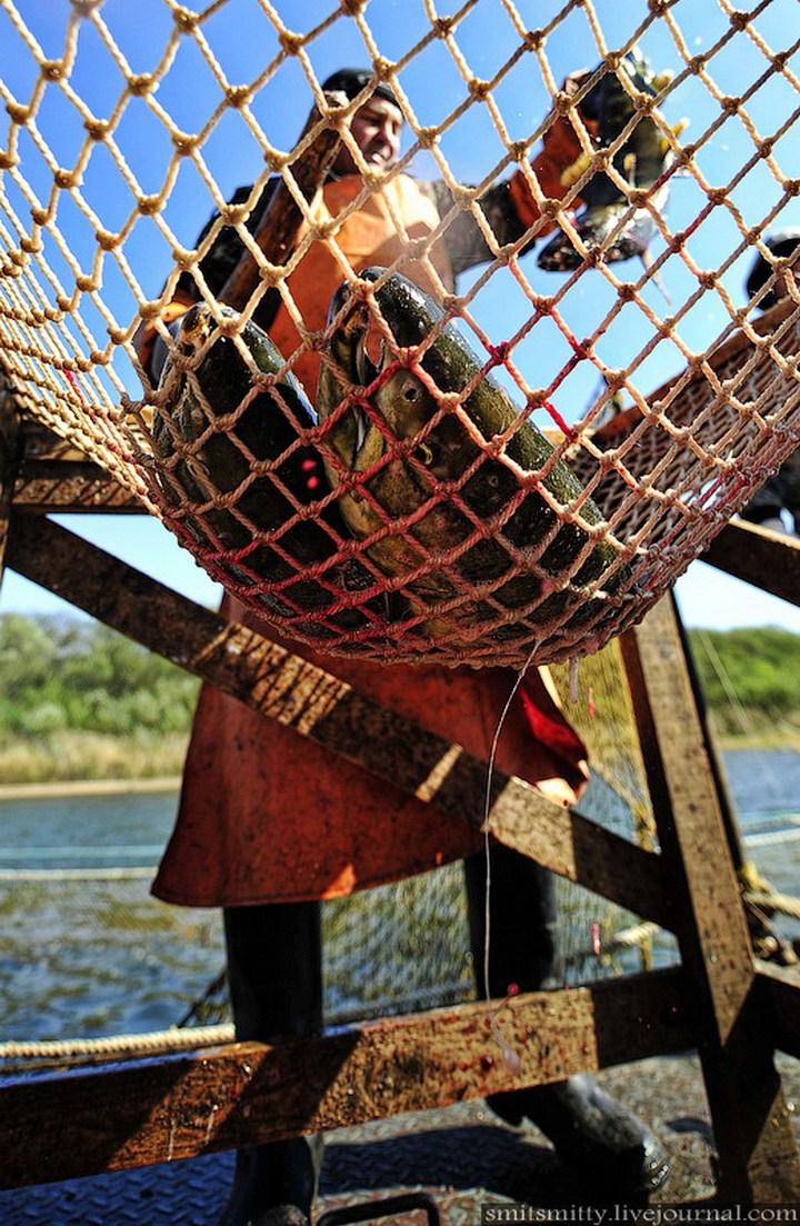 Как разводят лосося, кету, добыча икры лососёвых (23)