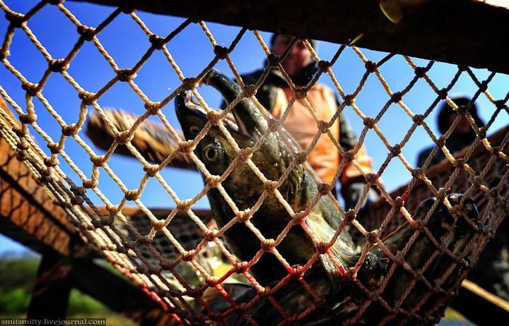 Как разводят лосося, кету, добыча икры лососёвых (24)