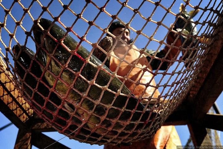 Как разводят лосося, кету, добыча икры лососёвых (25)