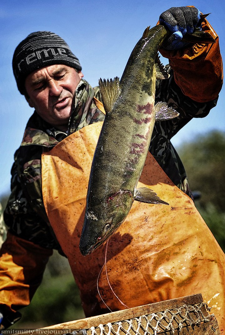 Как разводят лосося, кету, добыча икры лососёвых (26)