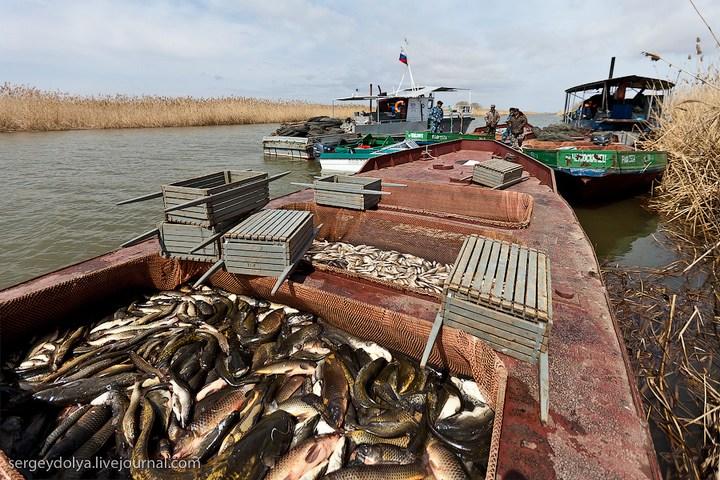 Как ловят рыбу в Астрахани (26)