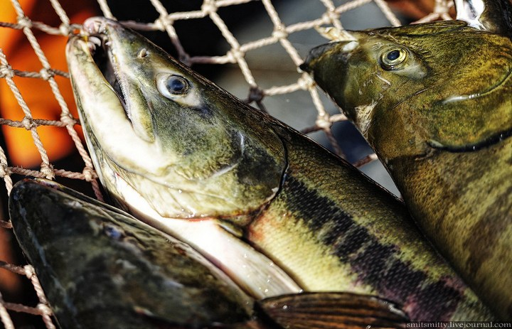 Как разводят лосося, кету, добыча икры лососёвых (28)
