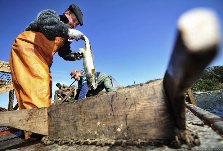 Как разводят лосося, кету, добыча икры лососёвых (29)