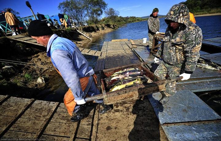 Как разводят лосося, кету, добыча икры лососёвых (30)
