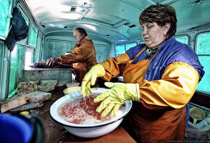 Как разводят лосося, кету, добыча икры лососёвых (35)