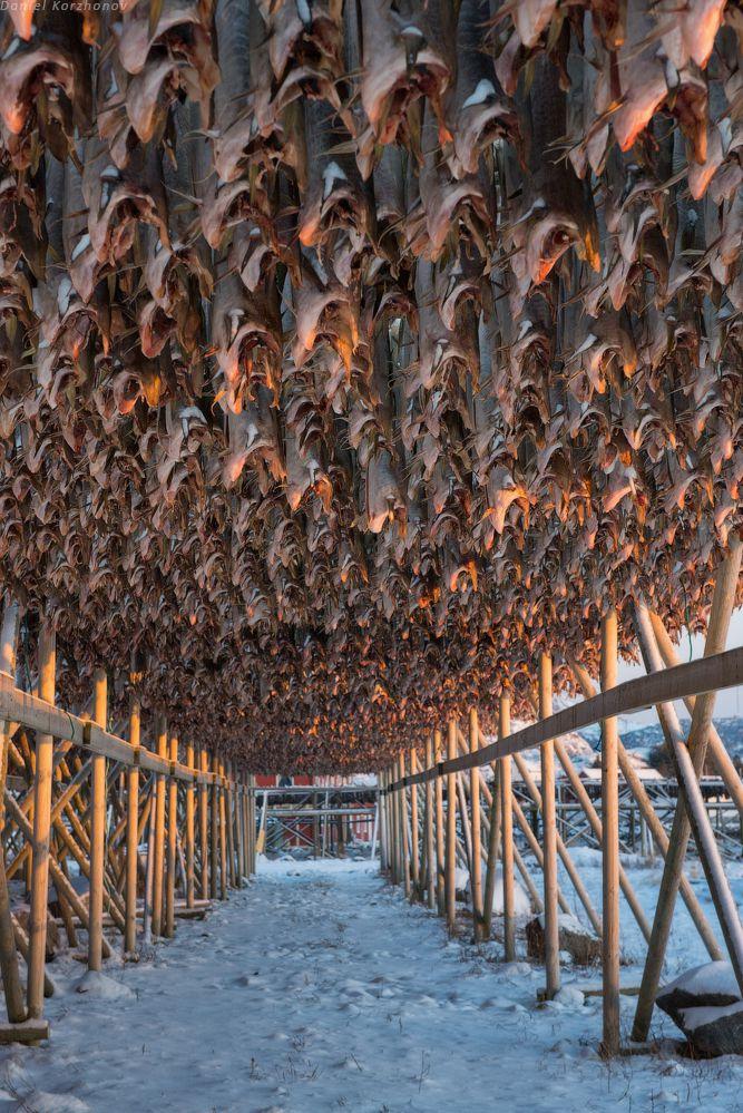 Как ловят треску в Норвегии (30)