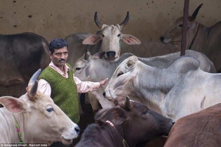Индусы считают что коровья моча обладает лечебными свойствами (4)
