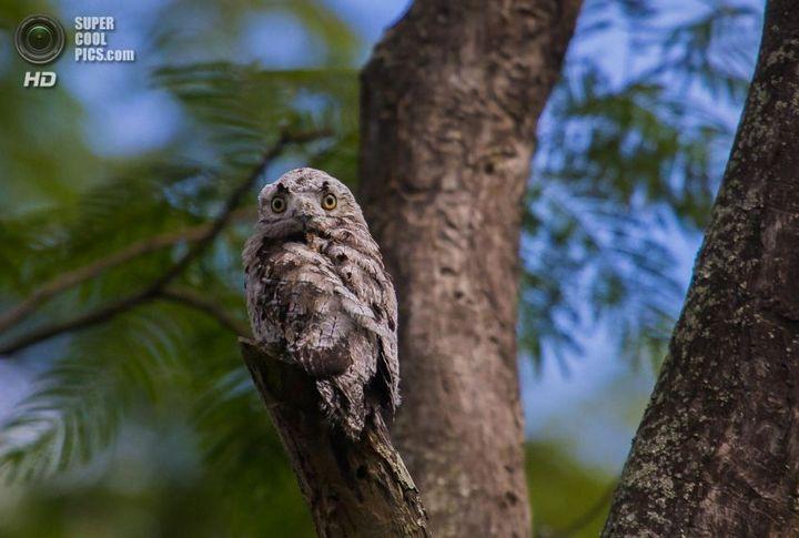 Исполинский козодой, птица - ветка, маскировка в окружающей среде (2)