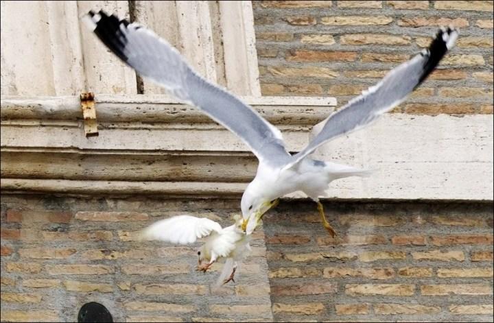 Необычный случай с белыми голубями мира Папы Римского Франциска (2)