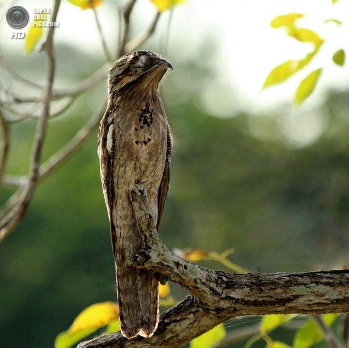 Исполинский козодой, птица - ветка, маскировка в окружающей среде (3)