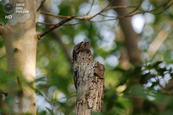 Исполинский козодой, птица - ветка, маскировка в окружающей среде (5)