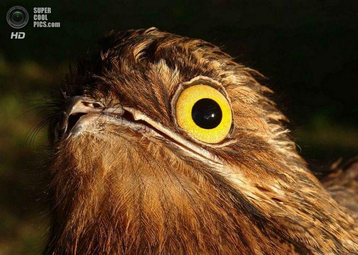 Исполинский козодой, птица - ветка, маскировка в окружающей среде (6)