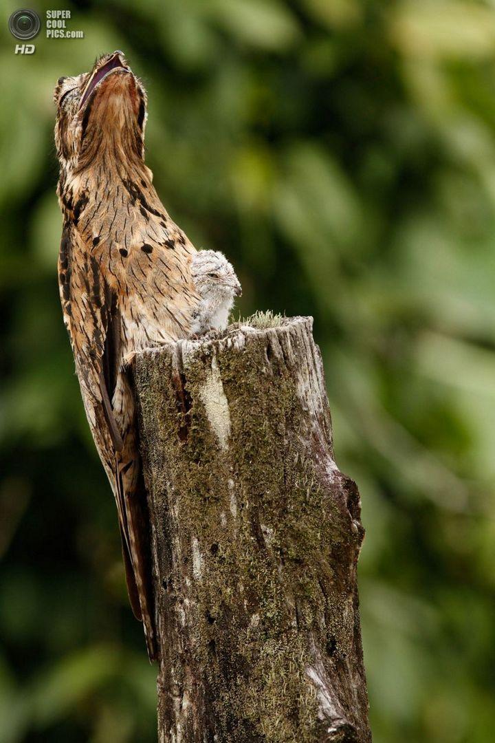 Исполинский козодой, птица - ветка, маскировка в окружающей среде (8)