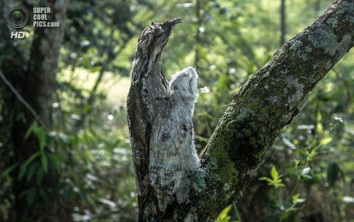 Исполинский козодой, птица - ветка, маскировка в окружающей среде (10)