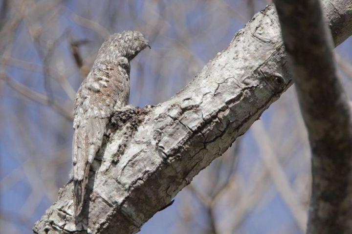 Исполинский козодой, птица - ветка, маскировка в окружающей среде (12)