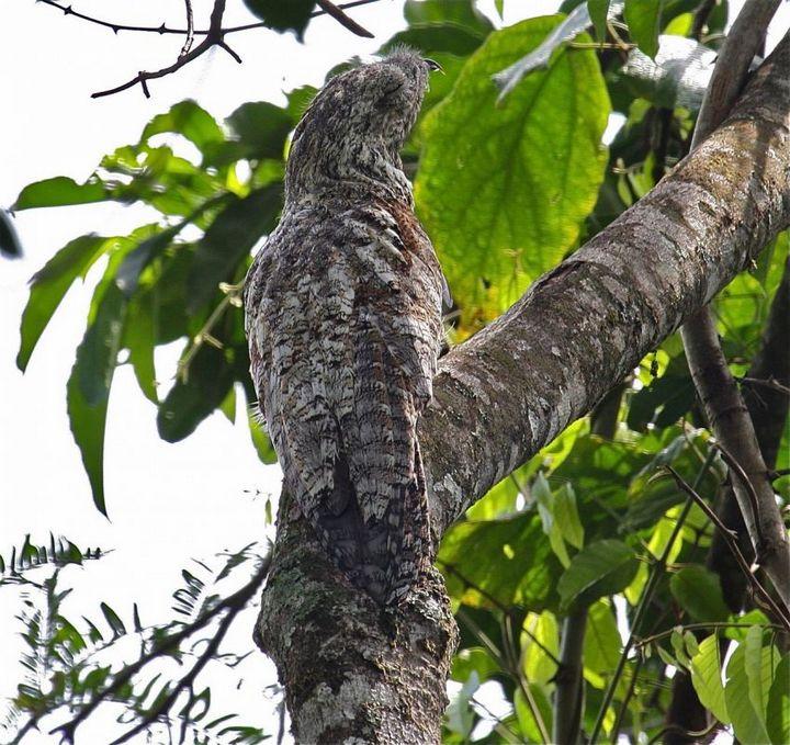 Исполинский козодой, птица - ветка, маскировка в окружающей среде (13)
