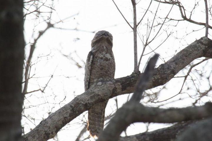 Исполинский козодой, птица - ветка, маскировка в окружающей среде (15)