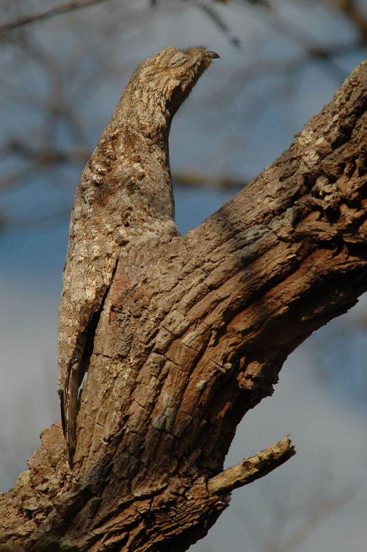 Исполинский козодой, птица - ветка, маскировка в окружающей среде (16)